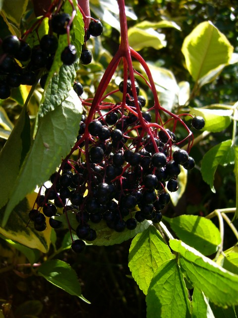 Elderberry Samyl My Edible Landscape