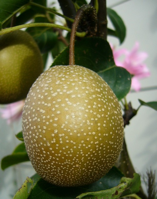 asian pear - okusankichi