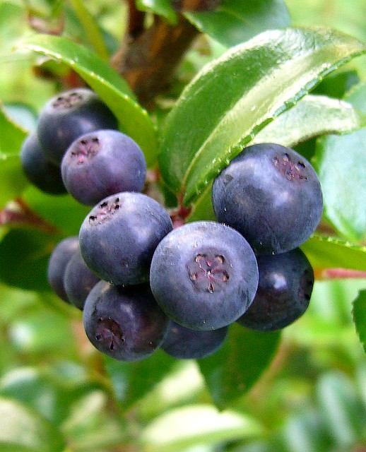 Huckleberry Evergreen Large Berry My Edible Landscape