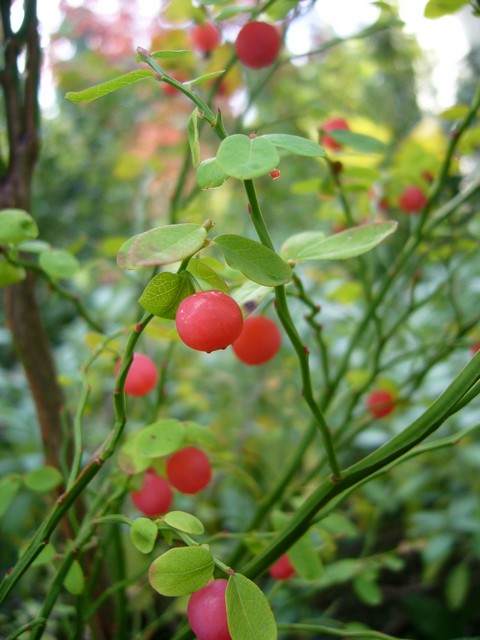 Huckleberry Red My Edible Landscape