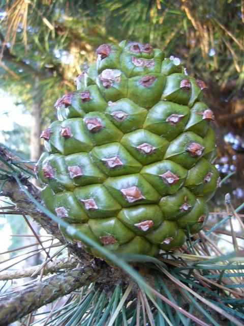 Pine Italian Stone My Edible Landscape